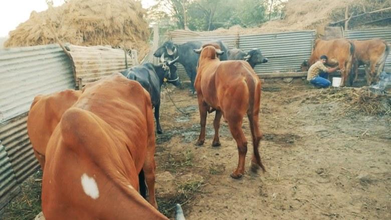 cow 2.jpg